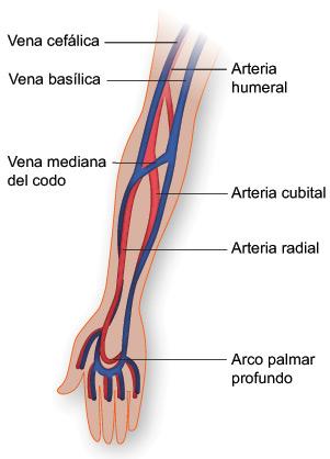 Vasos sanguíneos del brazo | Texas Heart Institute