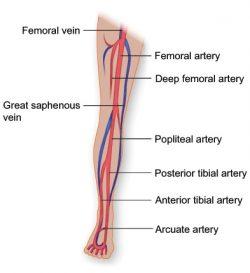 Vasculature Of The Leg Texas Heart Institute
