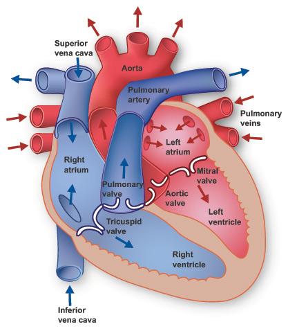 Heart Anatomy Texas Heart Institute