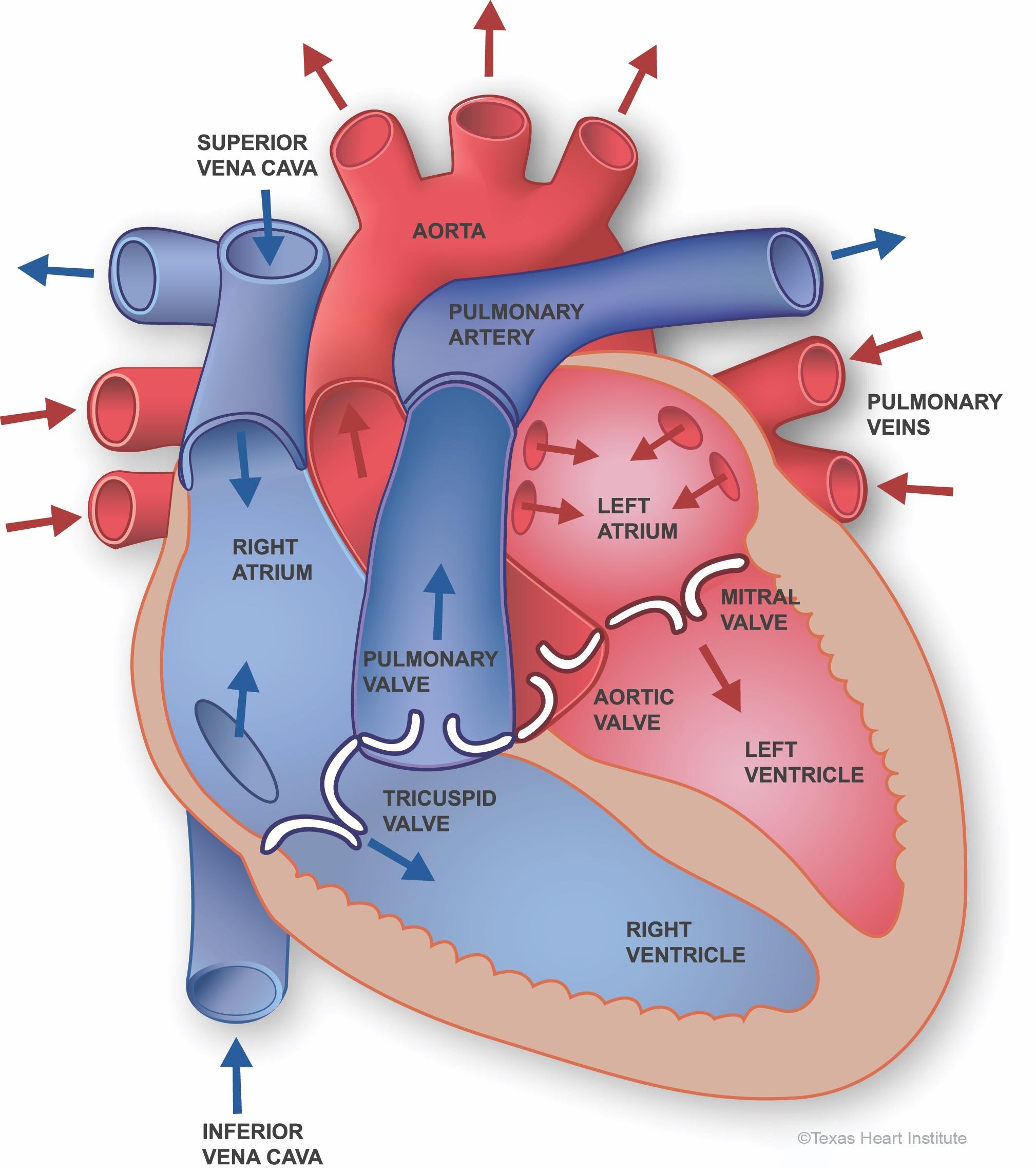 Salud Cardiovascular Anatomía Del Corazón Texas Heart Institute